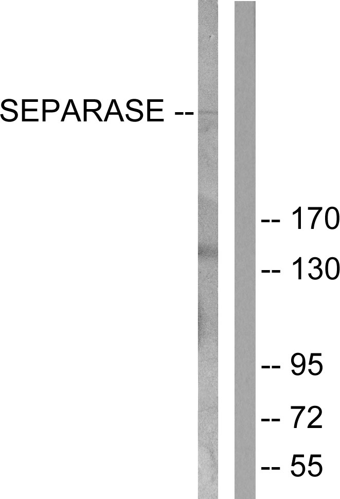 Western blot analysis of lysates from 293 cells, treated with EGF 200ng/ml 30', using SEPARASE Antibody. The lane on the right is blocked with the synthesized peptide.