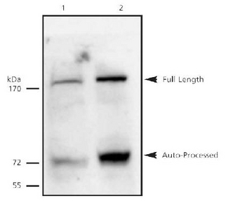 ESPL1 / Separase Antibody - Separase detected in 5C6 cell lysates. Lane 1: Non-induced lysate. Lane 2: Lysate induced with ponasterone.  This image was taken for the unconjugated form of this product. Other forms have not been tested.