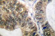 Immunohistochemistry (IHC) analysis of p-Separase (S801) pAb in paraffin-embedded human tonsil tissue.