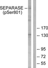 Western blot analysis of lysates from 293 cells treated with EGF 200ng/ml 30', using SEPARASE (Phospho-Ser801) Antibody. The lane on the right is blocked with the phospho peptide.