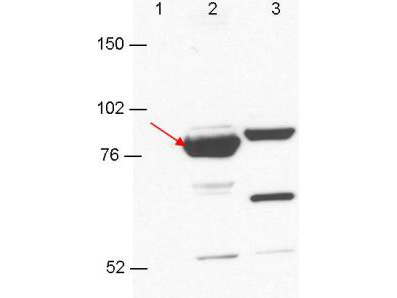 Esrp-1/2 Antibody - Anti-Esrp-1/2 antibody by western blot shows detection in 293T cell extracts. Lane 1: GFP-transfected. Lane 2: Esrp-1 transfected (arrow). Lane 3: Esrp-2 transfected. Each lane contains approximately 5 µg of lysate. Primary antibody was used at a 1:1000 dilution in PBS-T plus milk, and reacted for 1hr at room temperature. The membrane was washed and reacted with a 1:10,000 dilution of an anti-mouse ECL antibody for 1hr at room temperature. Molecular weight estimation was made by comparison to prestained MW markers.