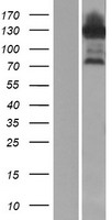 ESRP1 / RBM35A Protein - Western validation with an anti-DDK antibody * L: Control HEK293 lysate R: Over-expression lysate