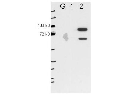 Anti-ESRP2 by western blot shows detection of ESRP2 in transfected 293T cell extracts (lane 2). Lanes ug and 1 contain 5 ug GFP-transfected- and ESRP1-transfected 293T cell lysates, respectively. Briefly, each lane contains approximately 5 ug of lysate. Primary antibody was used at a 1:1000 dilution (PBS-T plus milk) and reacted for O/N at 4C. The membrane was washed and reacted with a 1:10000 dilution of an anti-mouse ECL antibody for 1hr at room temperature. The bands shown are full length FLAG-ESRP2 (~80kDa) and a slightly lower band that is specific to ESRP2. Molecular weight estimation was made by comparison to prestained MW markers.