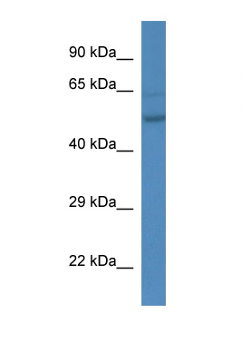 ESRRA antibody Western blot of Mouse liver lysate. Antibody concentration 1 ug/ml. This image was taken for the unconjugated form of this product. Other forms have not been tested.
