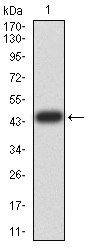 Western blot analysis using ESRRA mAb against human ESRRA (AA: 198-376) recombinant protein. (Expected MW is 45.3 kDa)