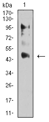 Western blot analysis using ESRRA mouse mAb against C6 (1) cell lysate.