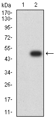 Western blot analysis using ESRRA mAb against HEK293 (1) and ESRRA (AA: 198-376)-hIgGFc transfected HEK293 (2) cell lysate.