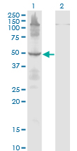 Western Blot analysis of ETF1 expression in transfected 293T cell line by ETF1 monoclonal antibody (M02), clone 2H4.Lane 1: ETF1 transfected lysate (Predicted MW: 49 KDa).Lane 2: Non-transfected lysate.