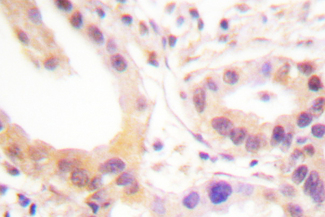 IHC of ETS1 (A32) pAb in paraffin-embedded human skin tissue.