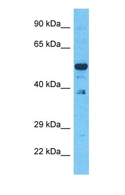 Western blot of EVI2B Antibody with human 293T Whole Cell lysate.  This image was taken for the unconjugated form of this product. Other forms have not been tested.