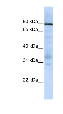 EWSR1 antibody LS-C110293 Western blot of Jurkat lysate.  This image was taken for the unconjugated form of this product. Other forms have not been tested.