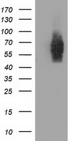 EXD1 Antibody - HEK293T cells were transfected with the pCMV6-ENTRY control (Left lane) or pCMV6-ENTRY EXD1 (Right lane) cDNA for 48 hrs and lysed. Equivalent amounts of cell lysates (5 ug per lane) were separated by SDS-PAGE and immunoblotted with anti-EXD1.