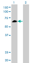 Western Blot analysis of EYA2 expression in transfected 293T cell line by EYA2 monoclonal antibody (M04), clone 2F8.Lane 1: EYA2 transfected lysate(59.2 KDa).Lane 2: Non-transfected lysate.