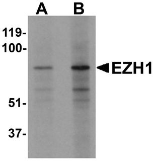 Western blot analysis of EZH1 in mouse lung tissue lysate with EZH1 antibody at (A) 1 and (B) 2 ug/ml