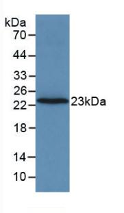 F2 / Prothrombin / Thrombin Antibody - Western Blot; Sample: Recombinant F2, Rat.