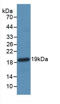Western Blot; Sample: Recombinant F2, Mouse.
