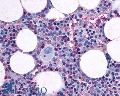 Anti-F2RL3 / PAR4 antibody LS-A1309 IHC of human bone marrow. Immunohistochemistry of formalin-fixed, paraffin-embedded tissue after heat-induced antigen retrieval.