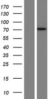 FAAH Protein - Western validation with an anti-DDK antibody * L: Control HEK293 lysate R: Over-expression lysate