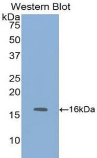 FABP1 / L-FABP Antibody - Western blot of recombinant FABP1 / L-FABP.  This image was taken for the unconjugated form of this product. Other forms have not been tested.