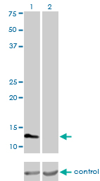 Western blot analysis of FABP3 over-expressed 293 cell line, cotransfected with FABP3 Validated Chimera RNAi (Lane 2) or non-transfected control (Lane 1). Blot probed with FABP3 monoclonal antibody (M01), clone 4F6-1D6 . GAPDH ( 36.1 kDa ) used as specificity and loading control.