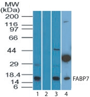Western blot of FABP7 in human spleen in the 1) absence and 2) presence of immunizing peptide, 3) mouse spleen, and 4) mouse embryonic brain lysate using LS-B7246 at 3 ug/ml, 2 ug/ml, and 2 ug/ml respectively. Goat anti-rabbit Ig HRP secondary antibody, and PicoTect ECL substrate solution were used for this test.