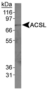 Detection of ACSL in HepG2 whole cell lysates.  This image was taken for the unconjugated form of this product. Other forms have not been tested.