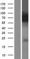 FACL2 / ACSL1 Protein - Western validation with an anti-DDK antibody * L: Control HEK293 lysate R: Over-expression lysate