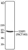 FACT / SSRP1 Antibody - Hela cell lysate was resolved by electrophoresis, transferred to nitrocellulose, and probed with monoclonal anti-SSRP1 antibody. Proteins were detected using a goat anti-mouse Ig secondary conjugated to HRP and a chemiluminescence detection system.