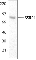 FACT / SSRP1 Antibody - Hela cell lysate was resolved by electrophoresis, transferred to nitrocellulose, and probed with monoclonal anti-SSRP1 antibody (clone 3E4). Proteins were detected using a goat anti-mouse Ig secondary conjugated to HRP and a chemiluminescence detection sy