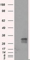 HEK293T cells were transfected with the pCMV6-ENTRY control (Left lane) or pCMV6-ENTRY FAHD2A (Right lane) cDNA for 48 hrs and lysed. Equivalent amounts of cell lysates (5 ug per lane) were separated by SDS-PAGE and immunoblotted with anti-FAHD2A.