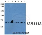 Western blot of FAM111A (C20) antibody at 1:500 dilution. Lane 1: DLD whole cell lysate. Lane 2: MCF-7 whole cell lysate. Lane 3: A549 whole cell lysate. Lane 4: RAW264.7 whole cell ly.