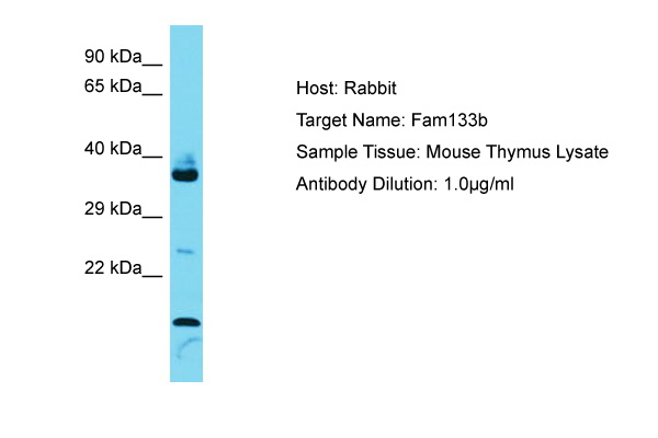FAM133B Antibody -  This image was taken for the unconjugated form of this product. Other forms have not been tested.