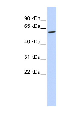 FAM134C antibody LS-C102539 Western blot of 721_B cell lysate.  This image was taken for the unconjugated form of this product. Other forms have not been tested.