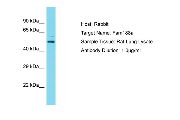 FAM188A / C10orf97 Antibody -  This image was taken for the unconjugated form of this product. Other forms have not been tested.