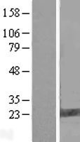 FAM206A / C9orf6 Protein - Western validation with an anti-DDK antibody * L: Control HEK293 lysate R: Over-expression lysate