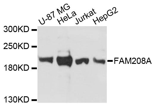 FAM208A Antibody - Western blot analysis of extracts of various cell lines, using FAM208A antibody at 1:3000 dilution. The secondary antibody used was an HRP Goat Anti-Rabbit IgG (H+L) at 1:10000 dilution. Lysates were loaded 25ug per lane and 3% nonfat dry milk in TBST was used for blocking. An ECL Kit was used for detection and the exposure time was 30s.
