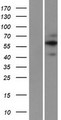 FAM20A Protein - Western validation with an anti-DDK antibody * L: Control HEK293 lysate R: Over-expression lysate