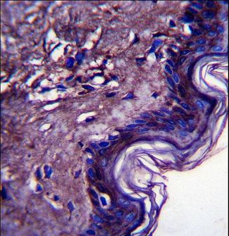 C10orf58 Antibody immunohistochemistry of formalin-fixed and paraffin-embedded human skin tissue followed by peroxidase-conjugated secondary antibody and DAB staining.