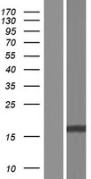 FAM72B Protein - Western validation with an anti-DDK antibody * L: Control HEK293 lysate R: Over-expression lysate