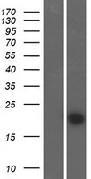 FAM89B Protein - Western validation with an anti-DDK antibody * L: Control HEK293 lysate R: Over-expression lysate