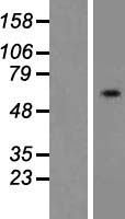 FAR2 Protein - Western validation with an anti-DDK antibody * L: Control HEK293 lysate R: Over-expression lysate