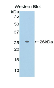 Western blot of recombinant FASLG / FASL / Fas Ligand.  This image was taken for the unconjugated form of this product. Other forms have not been tested.