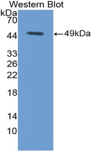 Western blot of recombinant FASLG / Fas Ligand.