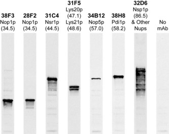 FBL / FIB / Fibrillarin Antibody - Strip blots of yeast protein extracts stained with the indicated antibodies. TargetName] antibody is first lane on the left and stains a single band at ~34kDa.