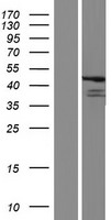 FBL8 / FBXL8 Protein - Western validation with an anti-DDK antibody * L: Control HEK293 lysate R: Over-expression lysate