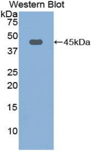 Western blot of recombinant FBLN1 / Fibulin 1.  This image was taken for the unconjugated form of this product. Other forms have not been tested.