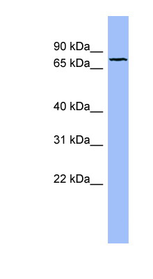 FBLN1 / Fibulin 1 antibody LS-C107638 Western blot of OVCAR-3 cell lysate.  This image was taken for the unconjugated form of this product. Other forms have not been tested.