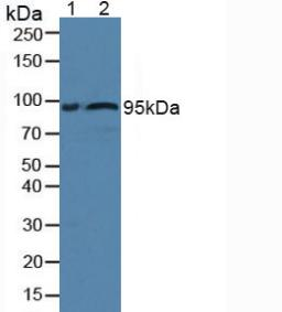 Western Blot; Sample: Lane1: Rat Serum; Lane2: Human Serum.