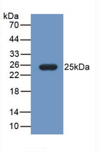 Western Blot; Sample: Recombinant FBLN1, Mouse.