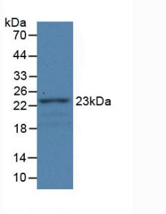 FBLN1 / Fibulin 1 Antibody - Western Blot; Sample: Recombinant FBLN1, Rat.